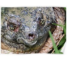 Common Snapping Turtle Close Up Poster