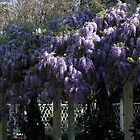 Wisteria by teresalynwillis