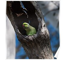 It's Safe in here - ( Indian ringneck parrot green 2) Poster