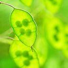 Honesty - Lunaria by Susie Peek