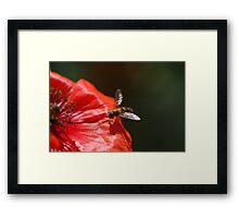 Hoverfly on the Poppy Framed Print