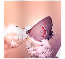 Hairstreak On White Flower Poster