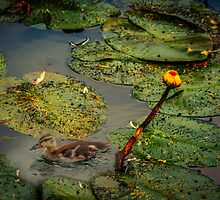 Lily Pond by LudaNayvelt