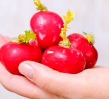 Hand offering a few radishes  Sticker