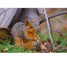 American Red Squirrel Photographic Print