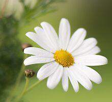 Sweet Daisy by Nicole Bechaz