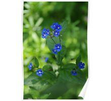 Brunnera macrophylla Poster