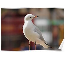Seagull Looking down Poster