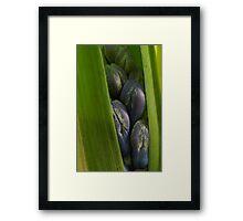 Hyacinth Emerging Framed Print