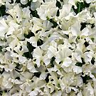 White Sweet peas by Stephen Frost