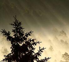 28.6.2014: Spruce Tree, Summer Morning by Petri Volanen
