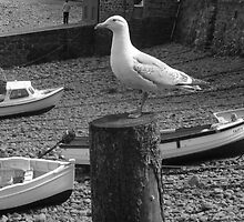Clovelly Seagull by Neill Parker