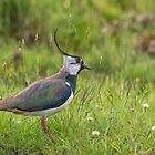 Lapwing by M.S. Photography/Art