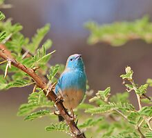 Blue Waxbill - Colorful Wild Birds from Africa by LivingWild