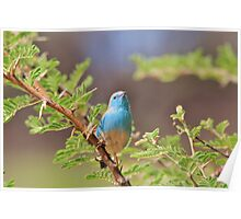 Blue Waxbill - Colorful Wild Birds from Africa Poster