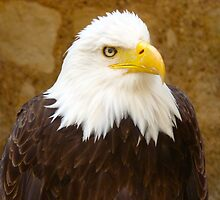 American Bald Eagle by JayFarrell