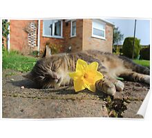 Tabby cat holding daffodil Poster