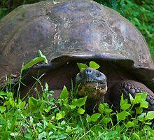 Ecuador. Galapagos Islands. Santa Cruz Island. Giant Tortoise. by vadim19
