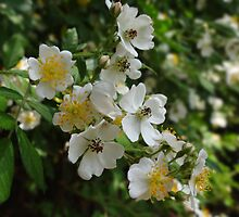 dog rose  Rosa canina  by vigor