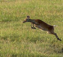 Leaping Deer by Nicholas Barrington Haynes
