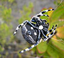 Plain one, purl one - Bark Spider creating a web by Lee Jones