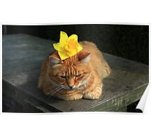 Ginger cat playing with daffodil Poster