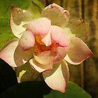 Lotus by zzsuzsa