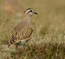 Dotterel by Trevsnature