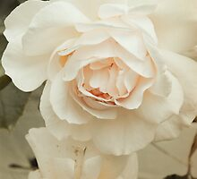 Cream with a touch of pink. Romantic rose  by walstraasart