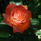 Orange beauty by MarianBendeth