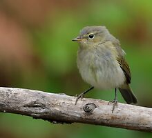 ChiffChaff (Phylloscopus collybita) - I by Peter Wiggerman