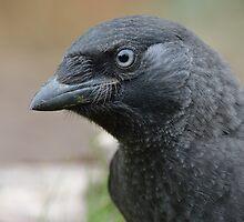 Jackdaw (Corvus monedula) - I by Peter Wiggerman