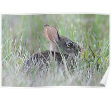 Eastern cottontail baby bunny Poster