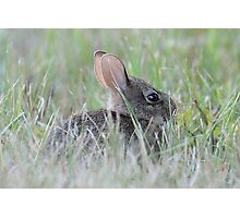 Eastern cottontail baby bunny Photographic Print