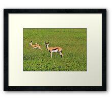 Springbok - African Wildlife Background - Running Wild Framed Print