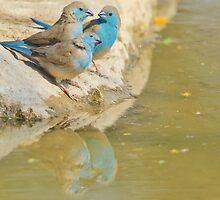 Blue Waxbill - Colorful Wild Birds from Africa - Brotherhood of Joy by LivingWild