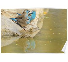 Blue Waxbill - Colorful Wild Birds from Africa - Brotherhood of Joy Poster