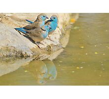 Blue Waxbill - Colorful Wild Birds from Africa - Brotherhood of Joy Photographic Print