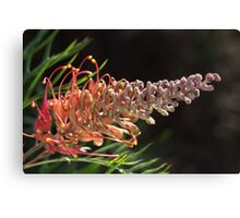Grevilleas Glow Canvas Print