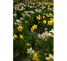 daffodils in the sun Photographic Print