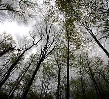 Towering Trees by Ray4cam