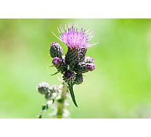 Purple Alpine Thistle, Photographed in Austria, Tyrol Photographic Print