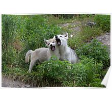 Howling good time - Arctic wolf pups Poster