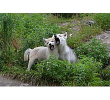 Howling good time - Arctic wolf pups Photographic Print