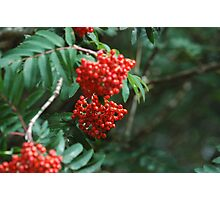 Rowan Berries Photographic Print