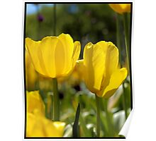 Spring Time Tulips Poster