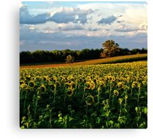 Summer sunflower field Canvas Print