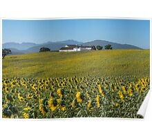 Sunflowers in Andalucia, Spain Poster