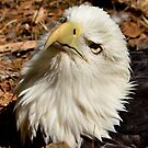 Nesting Eagle by Kathy Baccari