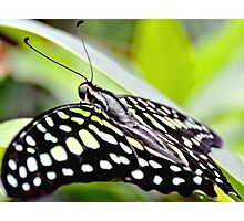 Tailed Jay Butterfly Photographic Print
